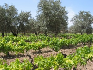 Olive trees in vineyards.