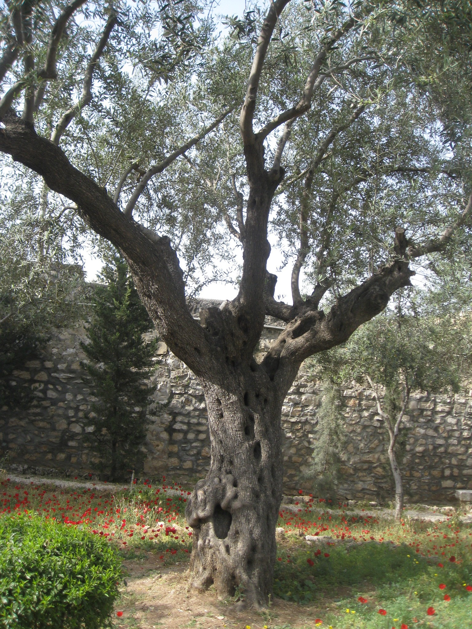 Garden Of Gethsemane Olive Tree 2