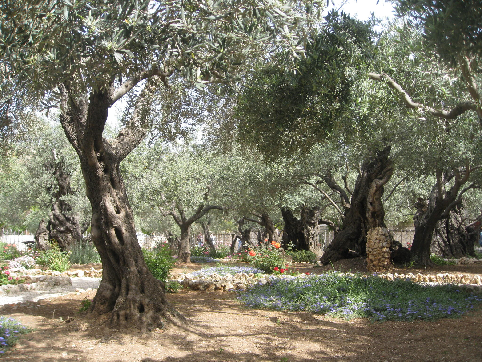 Garden of Gethsemane olive trees and garden BYU New Testament